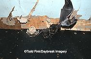 01850-001.02 (TF) Rafinesque's big- eared bats (Plecotus rafinesquii) Johnson Co.   IL