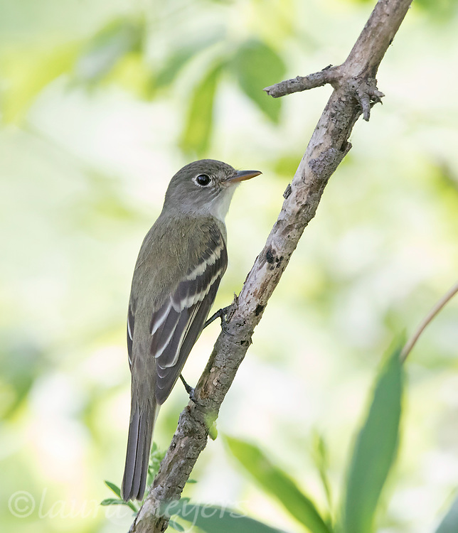 Nice closeup of an Eastern Wood-peewee on small tree with light background with leaves at Magee Marsh.