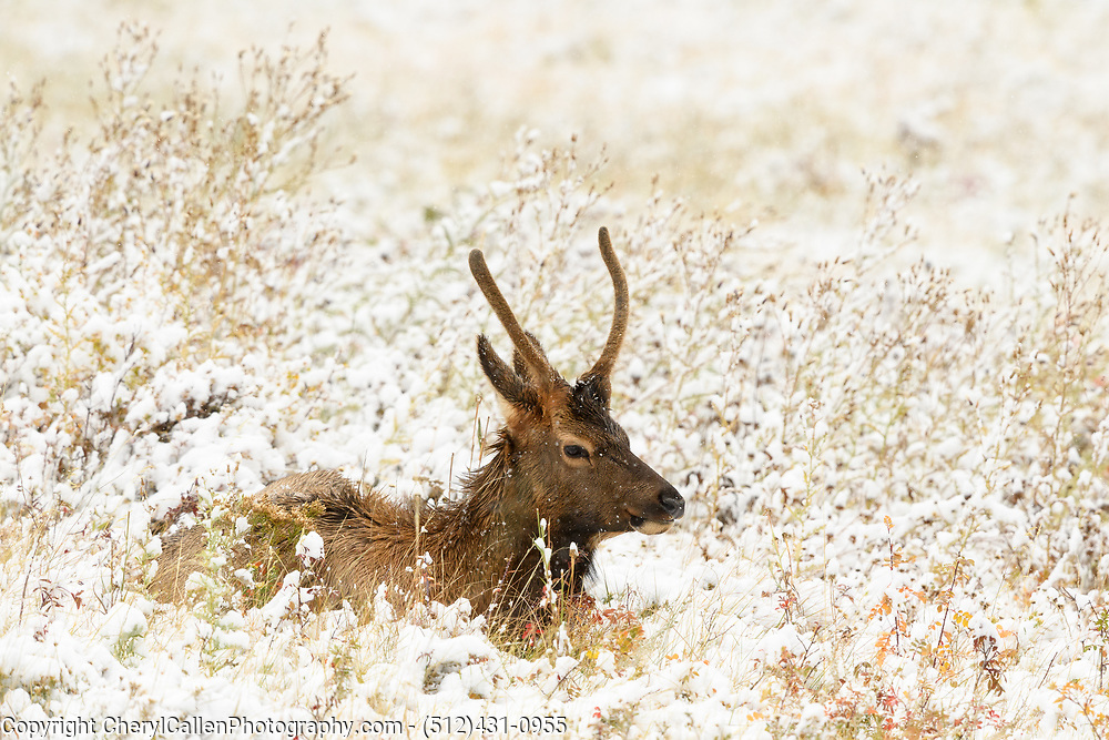 Young bull Elk laying in the fresh snow