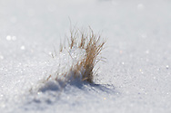 The sun backlights a graceful miniature snowdrift built up on the windward side of a small tussock of grass.