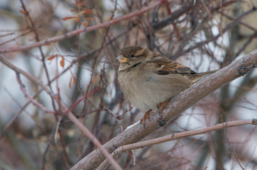 A house sparrow (Passer domesticus) in winter, Missoula, Montana
