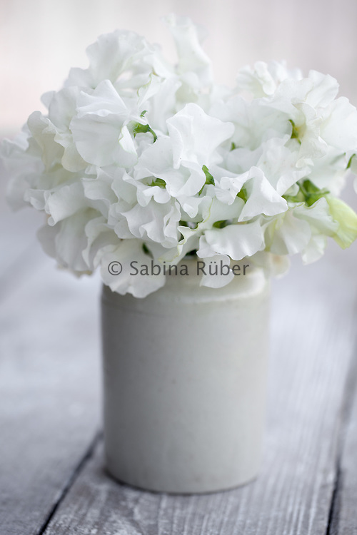 Lathyrus odoratus 'Diamond Jubilee' - sweet pea arrangement in small earthenware jar