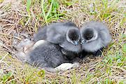 Black Brant; Branta bernicla nigricans, goslings at nest, Yukon Delta NWR, Alaska