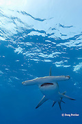 great hammerhead shark, Sphyrna mokarran, Great Bahama Bank, Bahamas ( Western North Atlantic Ocean )