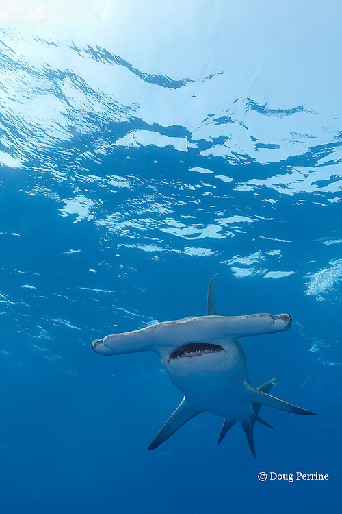great hammerhead shark, Sphyrna mokarran, Great Bahama Bank, Bahamas ( Western North Atlantic Ocean )