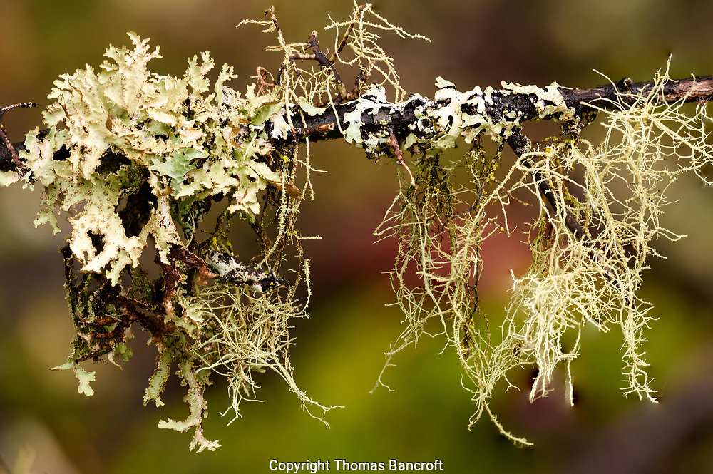 Iceland Lichen on left, Rag Lichen on right, and Beard Lichen hanging down