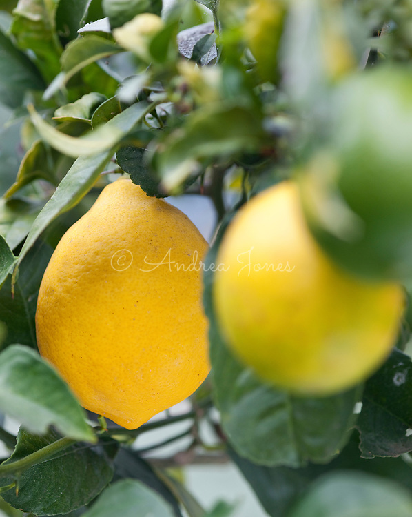 Citrus × meyeri 'Meyer' (Meyer lemon) on the branch