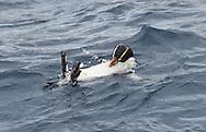Erect-crested Penguin - Eudyptes sclateri
