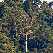 Hala-Bala (also known as Bala-Hala) forest is the name of the conservation area which consists of two forests in Yala and Narathiwat provinces. The Bala sector of the Hala Bala Wildlife Sanctuary is home to a beautiful hill evergreen dipterocarp forest.