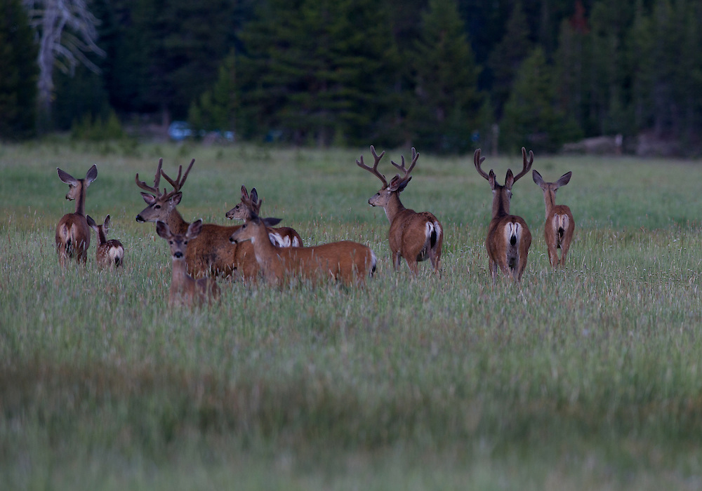 Mule deer bucks feed in a open meadow shortly after sunset.