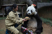 FUZHOU, CHINA - NOVEMBER 28: (CHINA OUT)<br /> <br /> Giant Panda Basi Celebrates 35th Birthday<br /> <br /> A feeder feeds birthday cake for Basi during its 35th birthday at Fuzhou Panda World on November 28, 2015 in Fuzhou, Fujian Province of China. Basi celebrated her 35th birthday which roughly equals 130 years in human age. It is currently the oldest living panda so far in the world. Basi visited the U.S. San Diego Zoo for shows in 1987. She attracted around 2.5 million visitors during her six-month stay in the United States and amazed many visitors by her acrobatic performances. In 1990, she was chosen as the prototype for Pan Pan, the mascot for the Beijing Asian Games. <br /> ©Exclusivepix Media