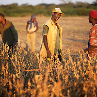 Workers in a field of soya beans at a farm in Zambia.<br /> <br /> Photo: Tom Pietrasik.Chaisamba, Central Province, Zambia. 2012