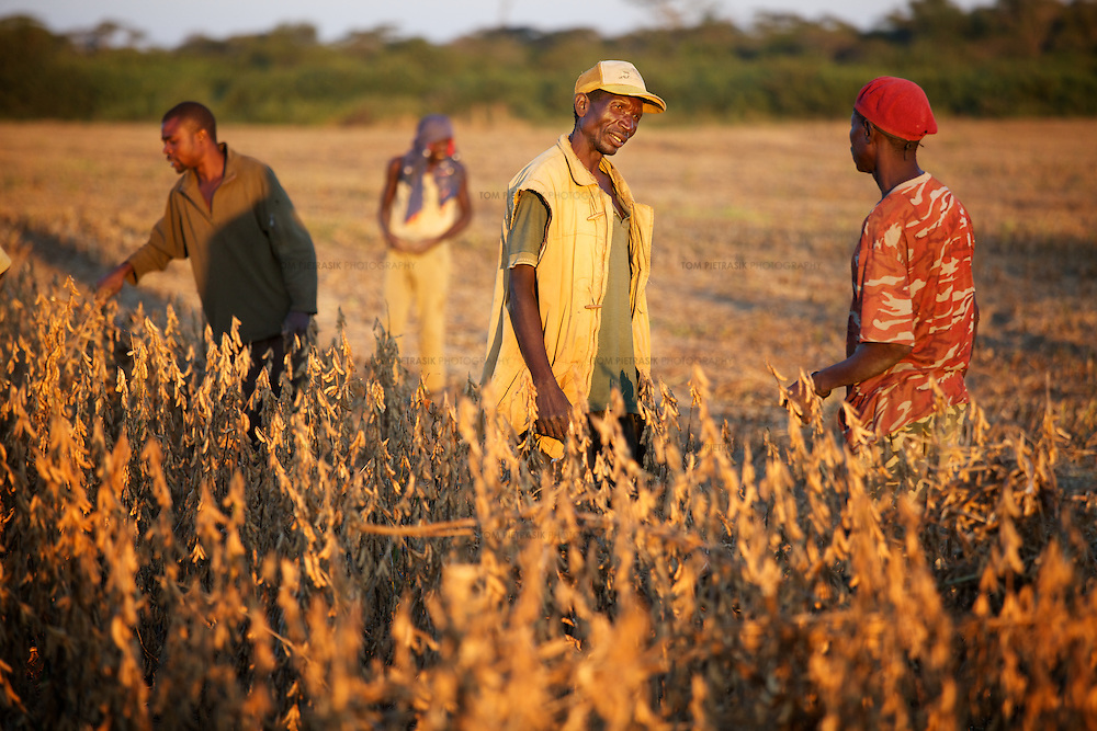 Workers in a field of soya beans at a farm in Zambia.<br />