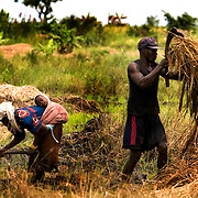 Local farmlabourers work in the rice-growing field of Bagré. Rice had increasingly become preferred by people living in the urban areas, as it was cheap and easy to cook, though overall it accounts for not more than 15 percent of grain consumption.