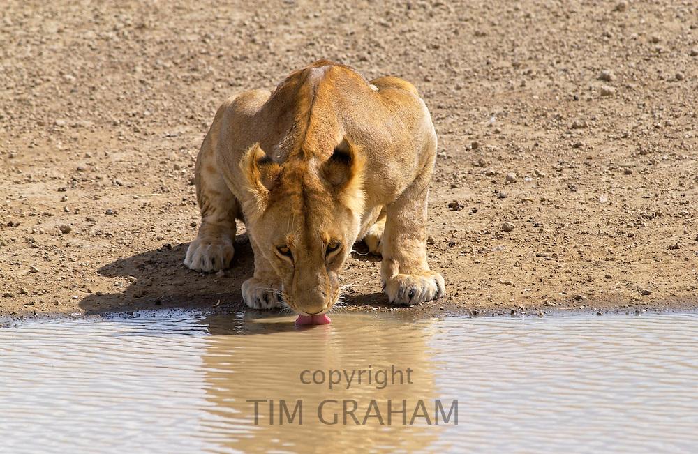 Lioness drinking,Serengeti, East Africa