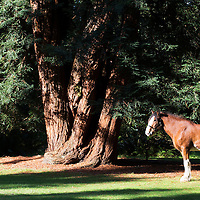 Elvis a Clydesdale Horse pictured walking through 'The Pinetum' at Scone Palace in Autumn time...<br /> Picture by Graeme Hart.<br /> Copyright Perthshire Picture Agency<br /> Tel: 01738 623350  Mobile: 07990 594431
