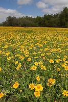 Huisache Daisy, (Amblyolepis Setigera), Goliad State Park, Texas