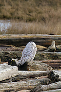 A Snowy Owl (Bubo scandiacus) rests on the logs Boundary Bay in Delta, British Columbia, Canada