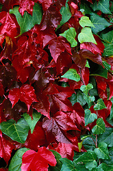 Foliage group of Virginia creeper (Parthenocissus) with  ivy