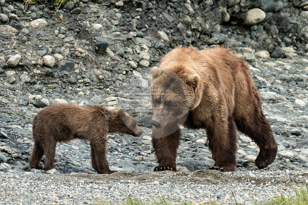 A grizzly bear sow nuzzles her spring cub on the shore of the lower lagoon at the McNeil River State Game Sanctuary on the Kenai Peninsula, Alaska. The remote site is accessed only with a special permit and is the world's largest seasonal population of brown bears.