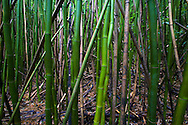 Bamboo stand, color photo depicting the lifespan of bamboo, Huelo, Maui, Hawaii