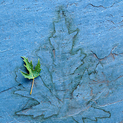 Immature green maple leaf resting on blue flagstone with tannin stained silhouette of last years fallen leaf, Massachusetts