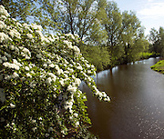 Spring blossom on tree with willows on the banks of the River Stour, Dedham Vale, England