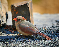 Female Northern Cardinal. Image taken with a Nikon D4 camera and 600 mm f/4 VR lens (ISO 220, 600 mm, f/4, 1/200 sec)