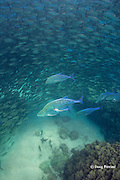 school of akule or bigeye scad, Selar crumenopthalmus, under attack by omilu or bluefin jacks, aka bluefin trevally, Caranx melampygus, Kailua Bay, Kona, Hawaii ( Big Island ), Hawaiian Islands, United States ( Central Pacific Ocean )