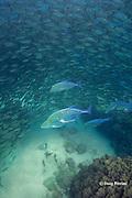 school of akule or bigeye scad, Selar crumenopthalmus, under attack by omilu or bluefin jacks, aka bluefin trevally, Caranx melampygus, Kailua Bay, Kona, Hawaii ( Big Island ), Hawaiian Islands, United States ( Central Pacific Ocean )