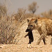 Mother hyena with baby cub pup at Kgalagadi Transfrontier Park in South Africa.