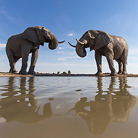 Africa, Botswana, Nxai Pan National Park, Remote camera view of Bull Elephants (Loxodonta africana) drinking at water hole in Kalahari Desert