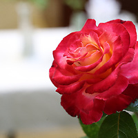 """A """"Dick Clark"""" variety of rose won second place in it's category and was one almost 100 roses that competed in this year's Rose Show at the Renasant Bank in Tupelo on Thursday."""