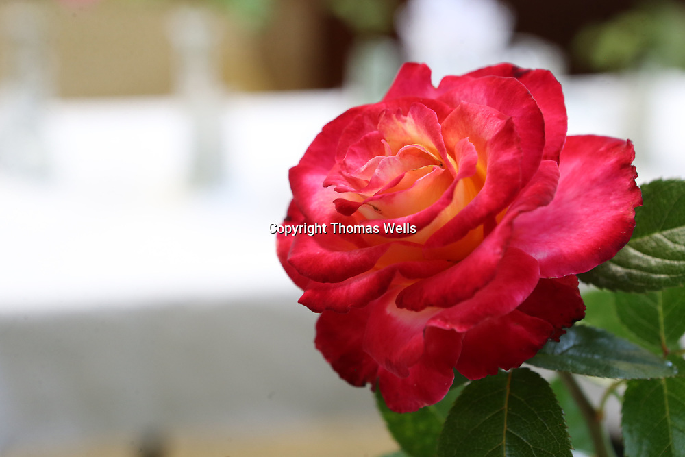"A ""Dick Clark"" variety of rose won second place in it's category and was one almost 100 roses that competed in this year's Rose Show at the Renasant Bank in Tupelo on Thursday."