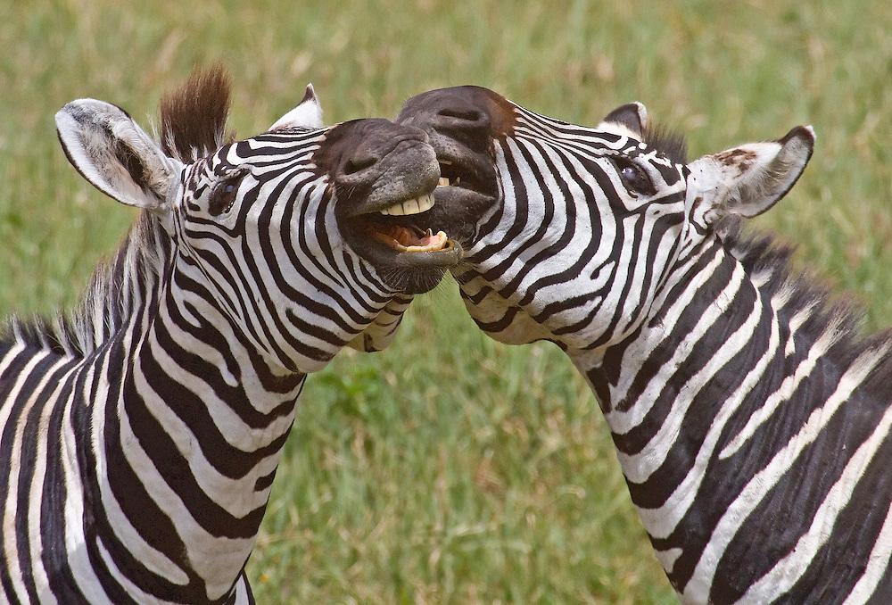 Common Zebras or Plains Zebras (Equus burchelli) playing Ngorongoro Crater, Tanzania