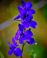 Larkspur (Delphinium). Image taken with a Fuji X-T3 camera and 80 mm f/2.8 macro lens