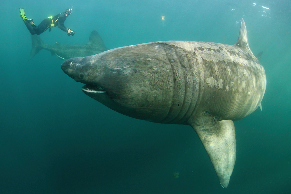 Mission: Basking Sharks<br /> Location: Scotland, off the Island of Mull (Coll and Tiree Islands area) - June 2009<br /> Basking Shark (Cetorhinus maximus); in the area of the Island of Mull; Scotland. June <br /> 2009.<br /> Model release form n&ordm; 1