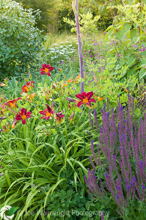 Hemerocallis and Salvias in a herbaceous border at Bluebell Cottage Gardens, Cheshire