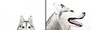 Zuko the Siberian Husky from the series Cluck! Woof! Baa! The Secret Language of Animals...