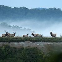 September 18, 2009. Hindman, Kentucky. Bull elk forage on the grasses of Combs Branch reclaimed surface coal mine. (Credit image: © David Stephenson/ZUMA Press)