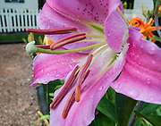 Large stamens extend from a pink lily flower blooming and wetted with water drops in a Virginia garden, USA.