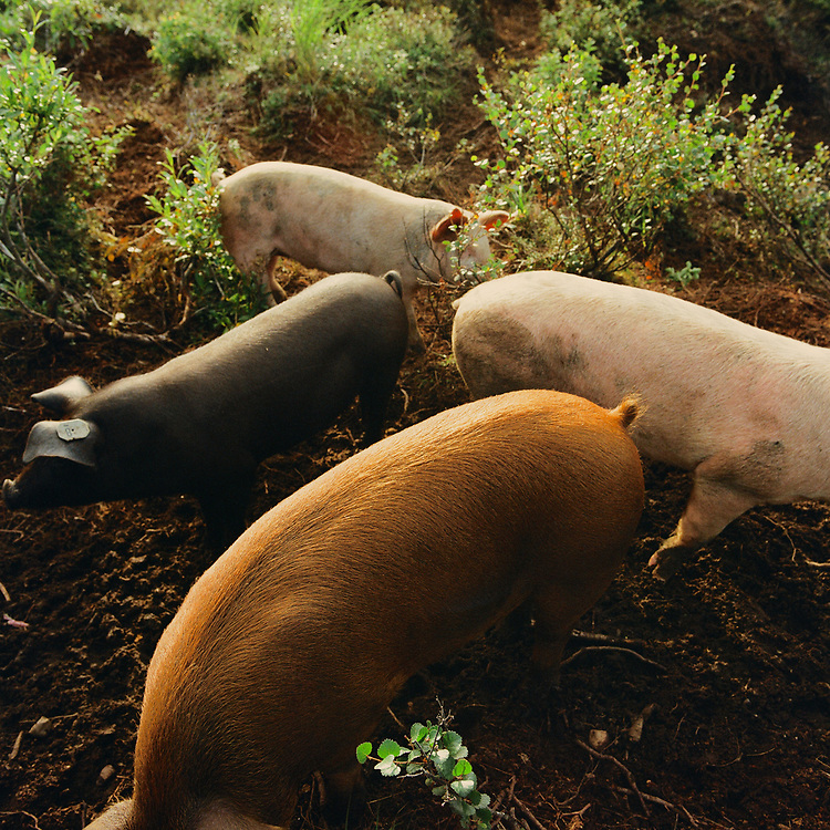 IGIUGIG, ALASKA - AUGUST 2017: Pigs in Igiugig, Alaska.