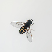 Hoverfly (Syrphus ribesii) mimics a wasp in colour and shape on white background