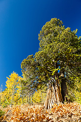 """Tahoe Tree 1"" - Autumn photograph of an evergreen tree located above Lake Tahoe. Yellow aspen trees can be seen in the background."