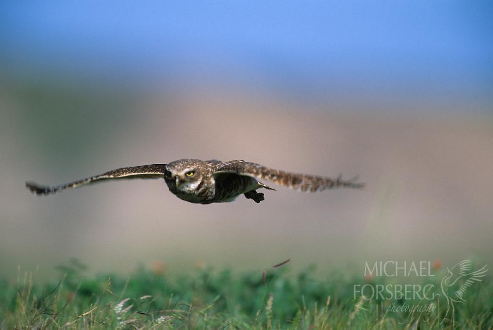 Conata Basin, Buffalo Gap National Grassland, South Dakota..Burrowing Owl in flight back towards nest burrow in prairie dog town