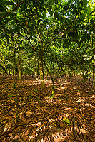 Cocoa Farm, Near Aburi (one of the first cocoa farms in Africa)