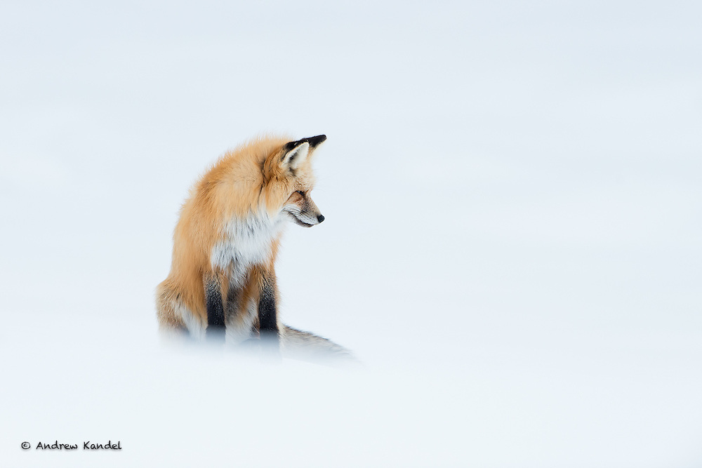 A red fox (Vulpes vulpes) listens carefully for voles underneath the snow, Yellowstone National Park, Wyoming