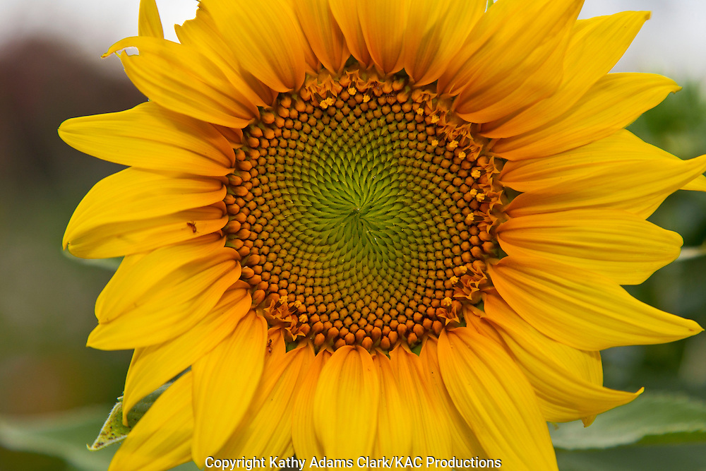 Sunflower on a spring day in the Texas Hill Contry.