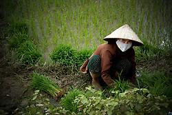 Farmer working in a rice field of Khanh Hoa Province, Vietnam, Southeast Asia