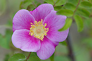 A Nootka rose (Rosa nutkana) blossoms in early summer. The wild rose is native to western North America.